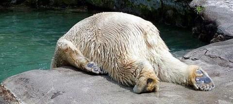 hung-over-polar-bear