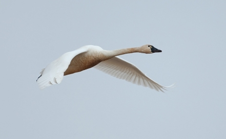 migratory-bird