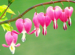 bleeding-heart-flower